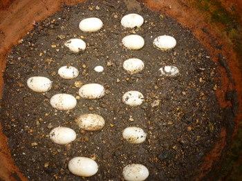 卵いっぱい.JPG